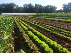 Lettuce and corn in field